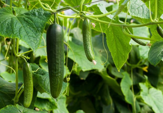 https://www.fermeducoin.fr/wp-content/uploads/2021/06/cucumbers-3809535_1920-650x450.jpg